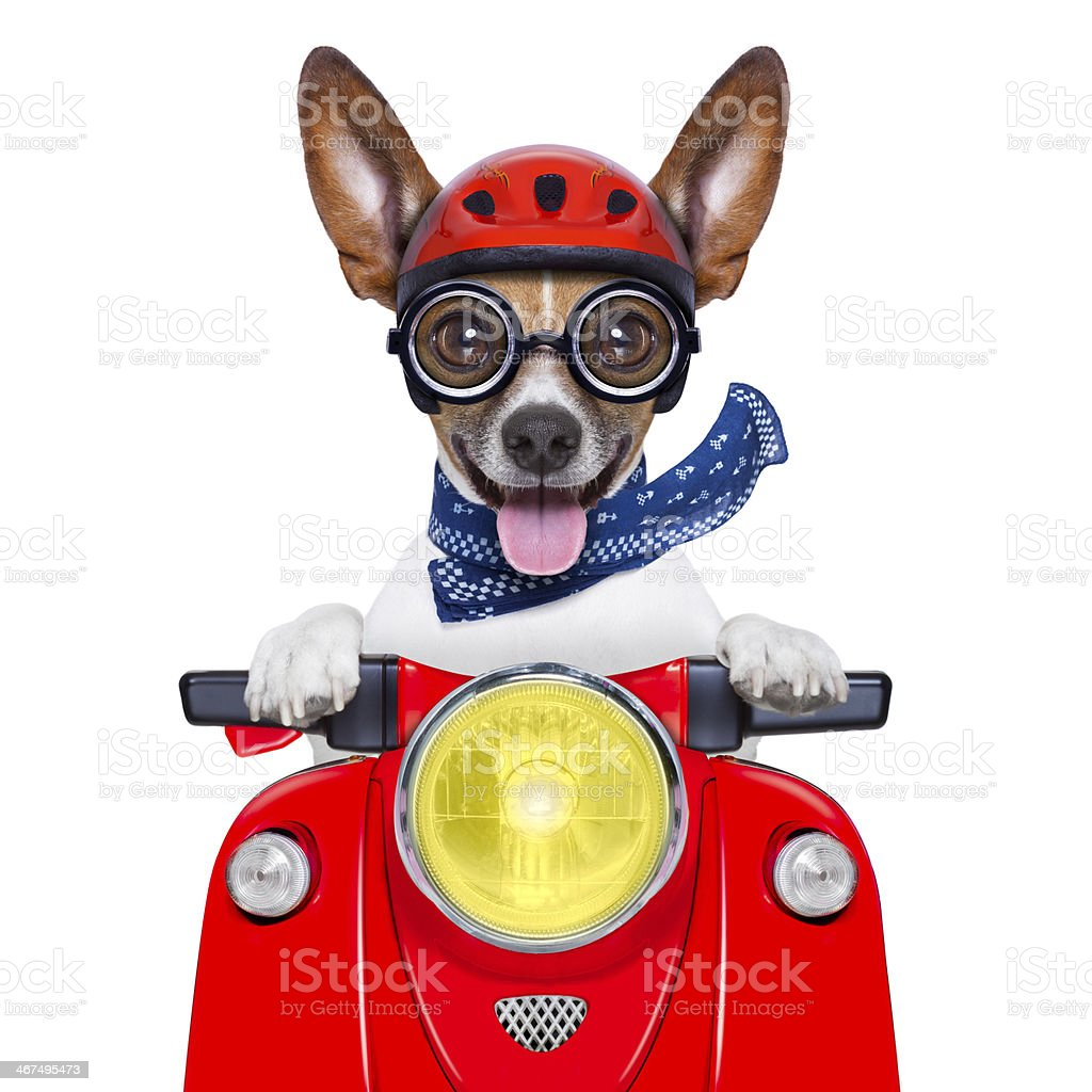 crazy silly motorbike dog stock photo