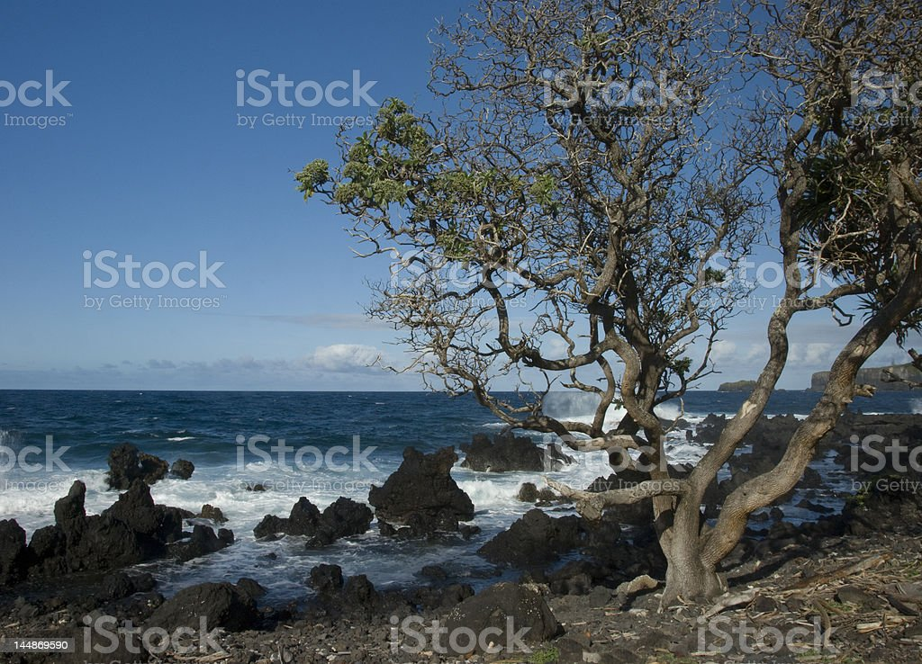 Crazy Tree on the coast stock photo