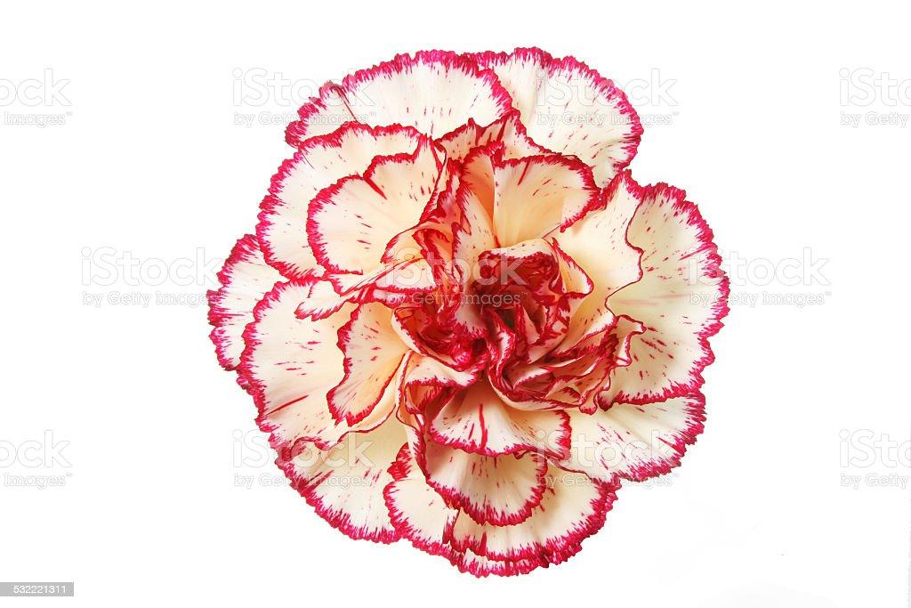 Cream carnation stock photo