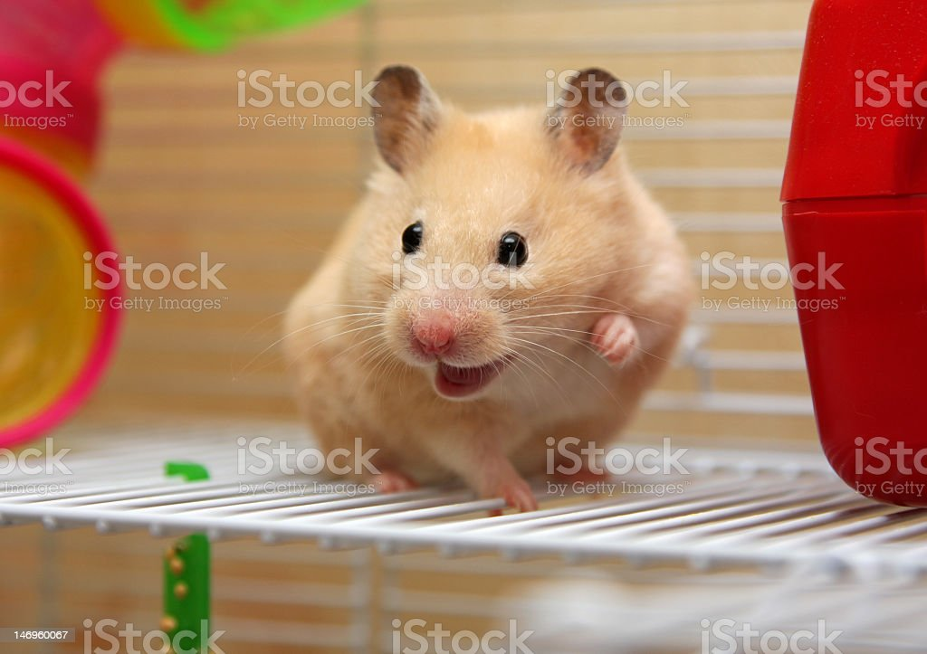 A cream colored hamster with its mouth open in its cage stock photo