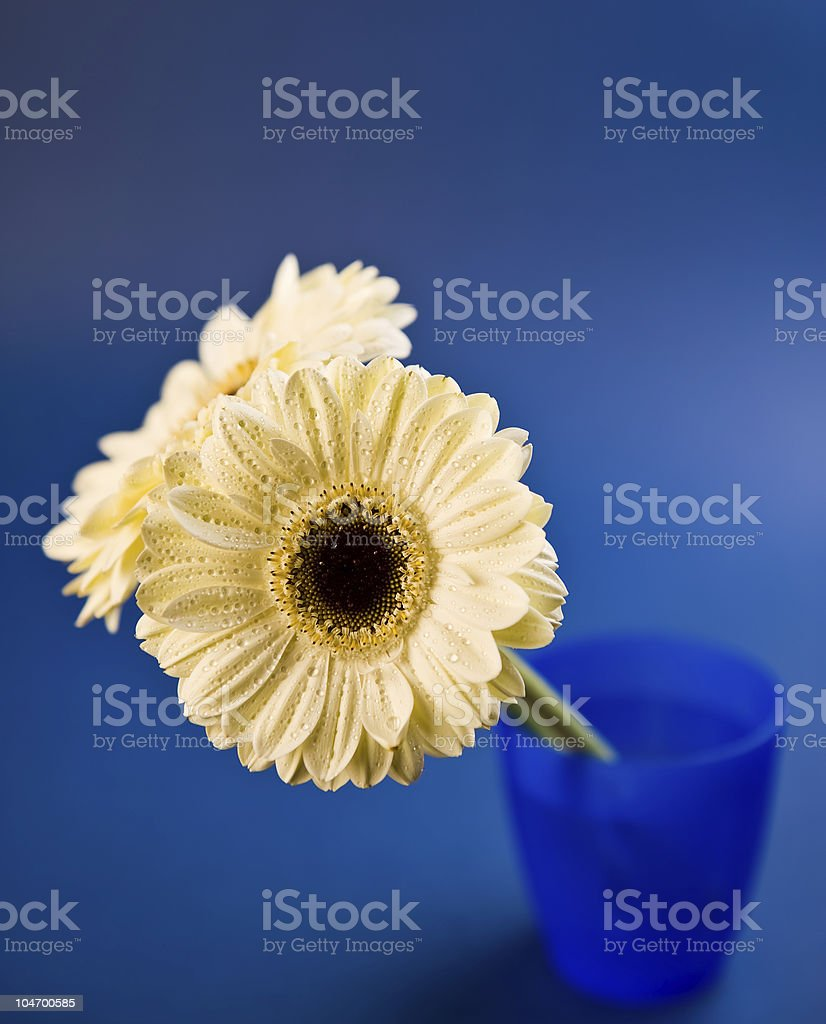 Cream gerbera stock photo
