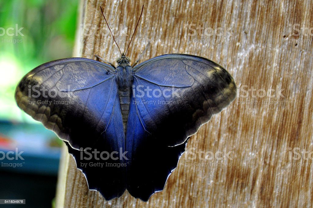 Cream Owl butterfly stock photo