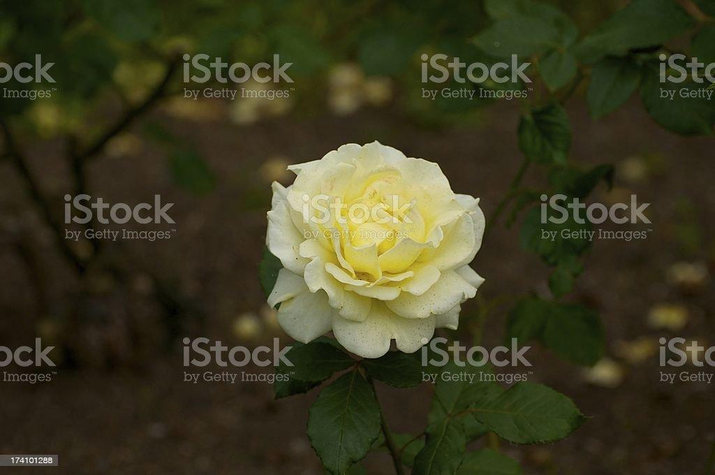 Cream Rose royalty-free stock photo