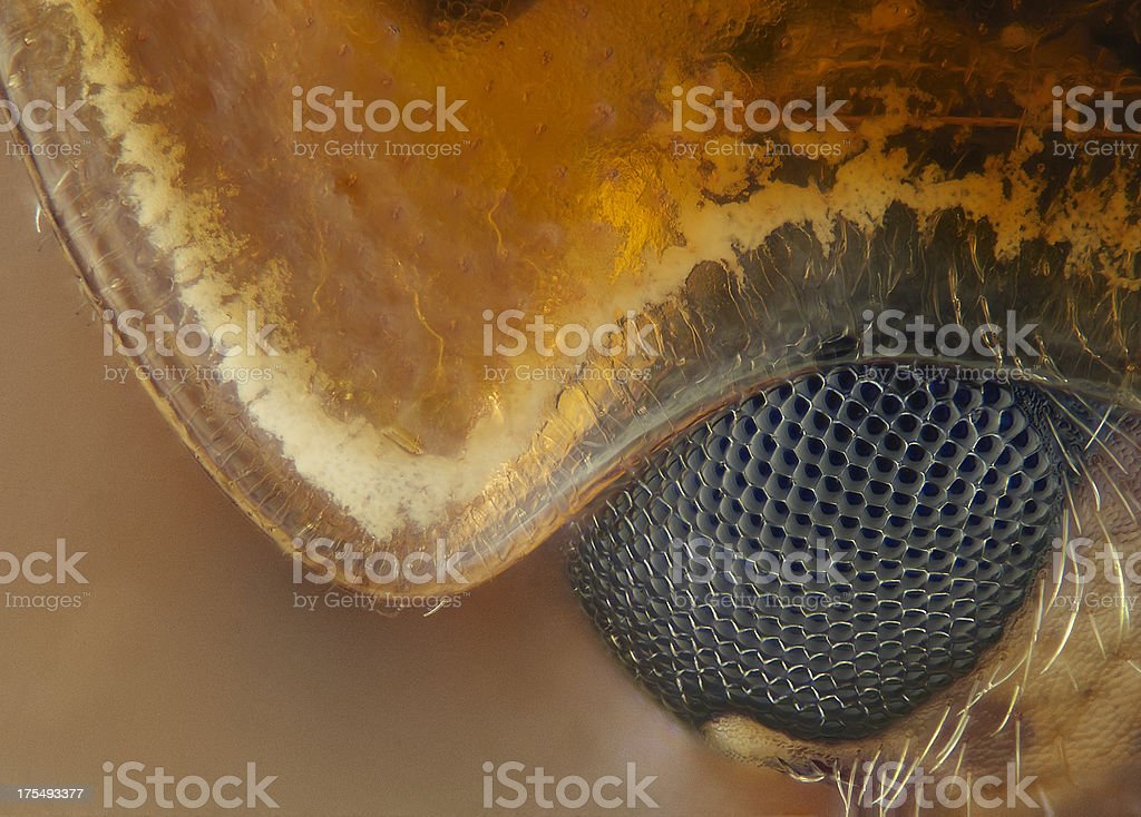 Cream spotted ladybird close up stock photo