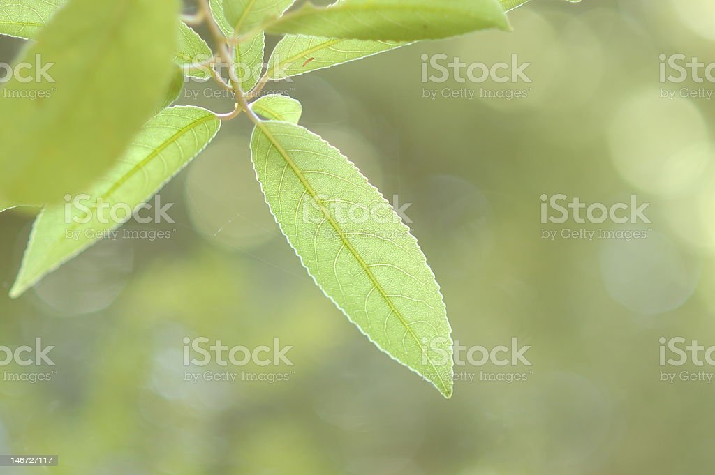 Creamy leaf stock photo
