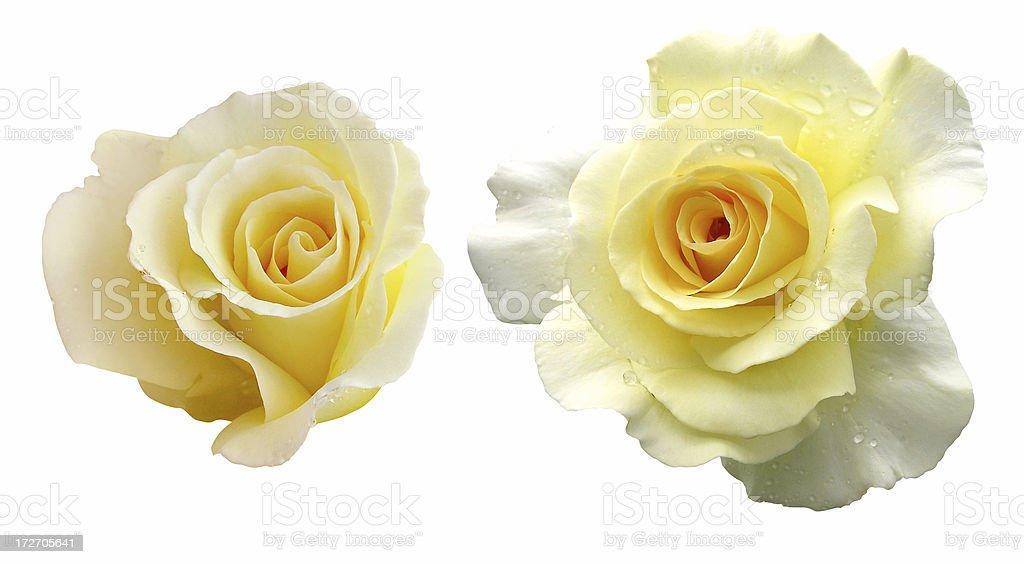 Creamy rose royalty-free stock photo