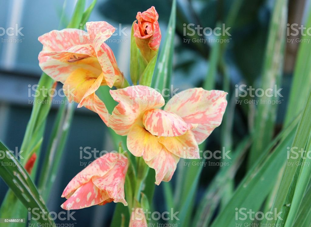 Creamy striped gladiolus flowers on the stem in garden. stock photo