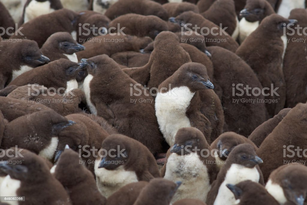 Creche for Rockhopper Penguin chicks stock photo