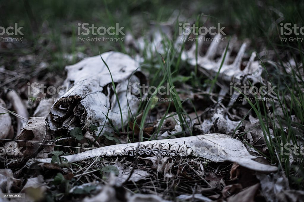 Creeepy old bones of wild boar in the grass. stock photo