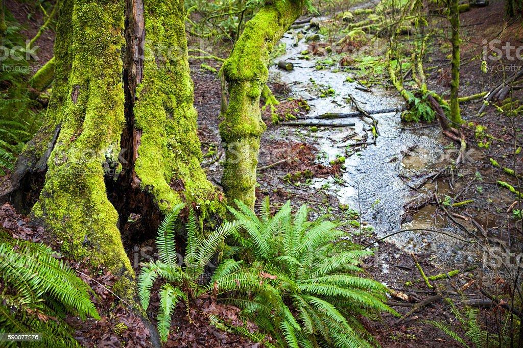 Creek & Moss Covered Hollow Tree, Ravenna Park, Seattle Washington royalty-free stock photo