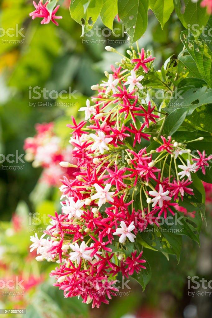 Creeper Flowers stock photo