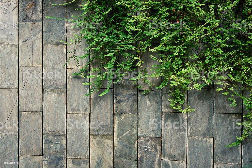 creeper green climbing on the brick wall stock photo