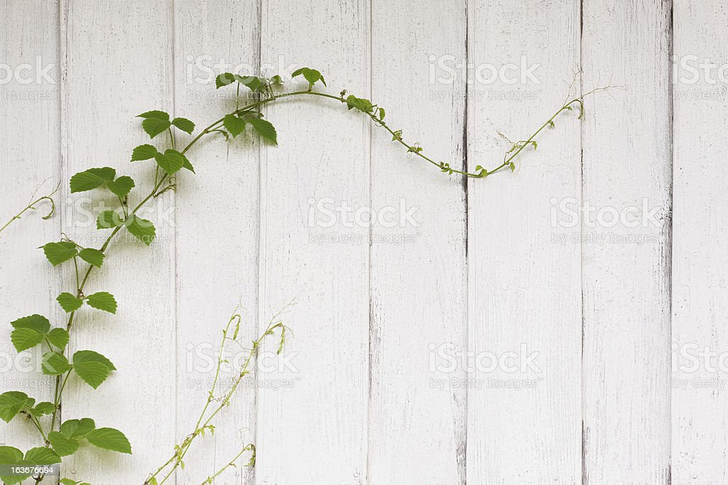 Creeper growing on an old painted wooden board wall. royalty-free stock photo