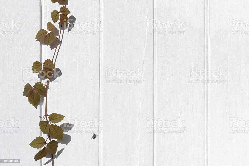 Creeper growing on an old painted wooden fence. royalty-free stock photo
