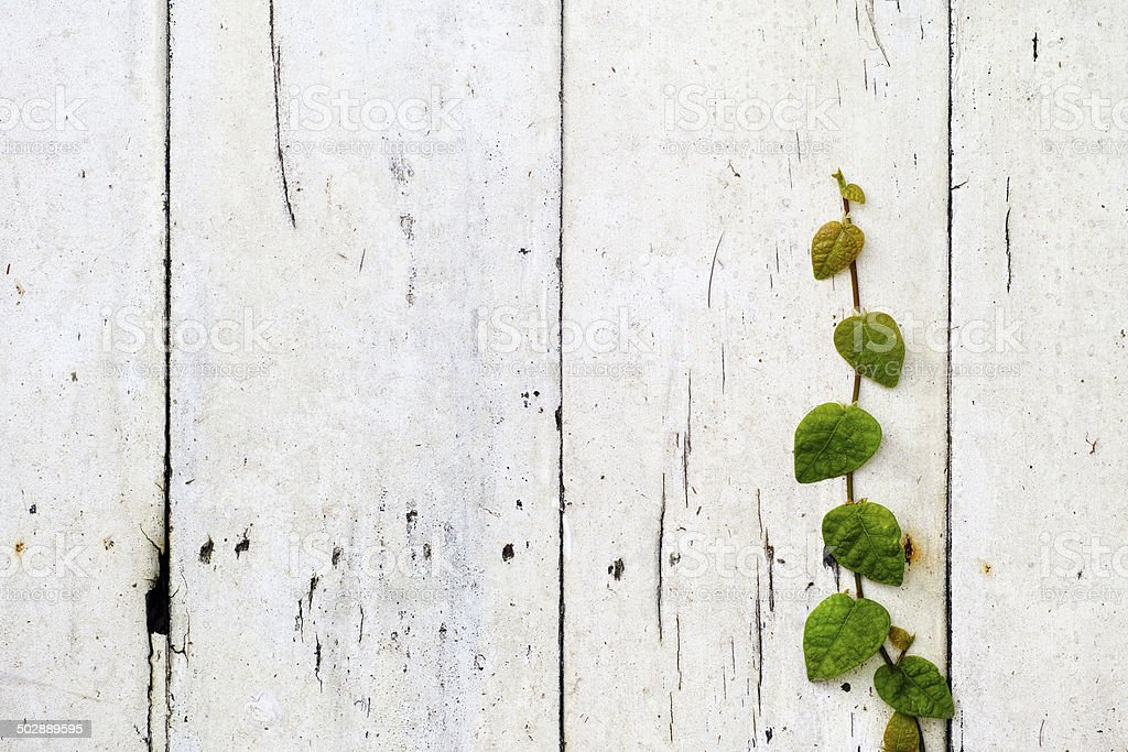 Creeper growing on an old wooden fence. royalty-free stock photo