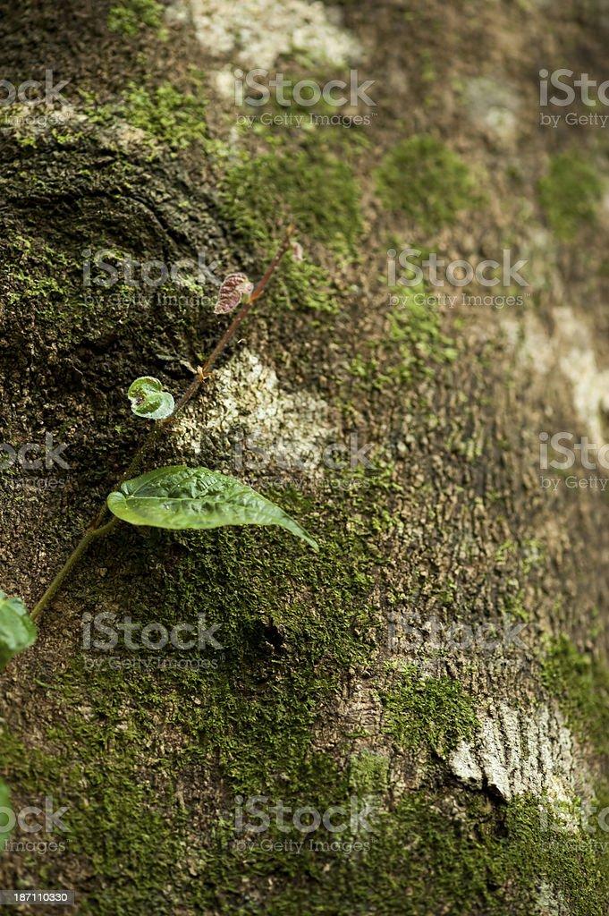 Creeper Growing on Tree Trunk stock photo