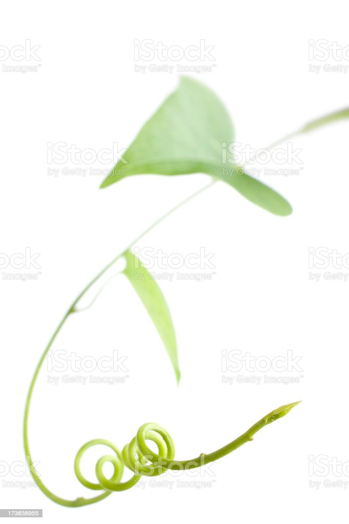 Creeper plant, isolated on white. royalty-free stock photo