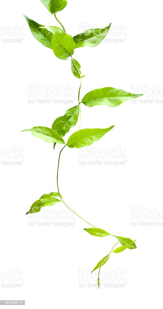 Creeper plant, isolated on white, supplied with clipping path. stock photo