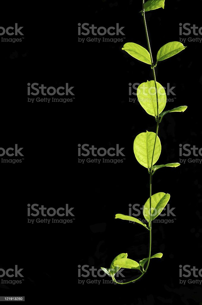 Creeper plant stock photo