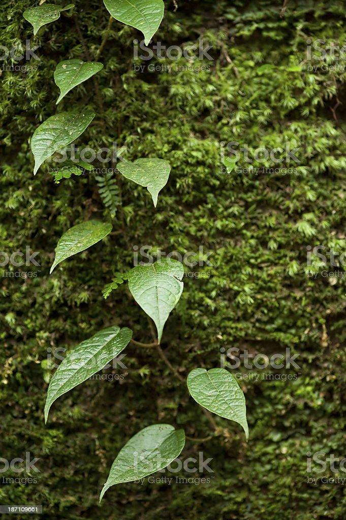 Creeper Plant stock photo