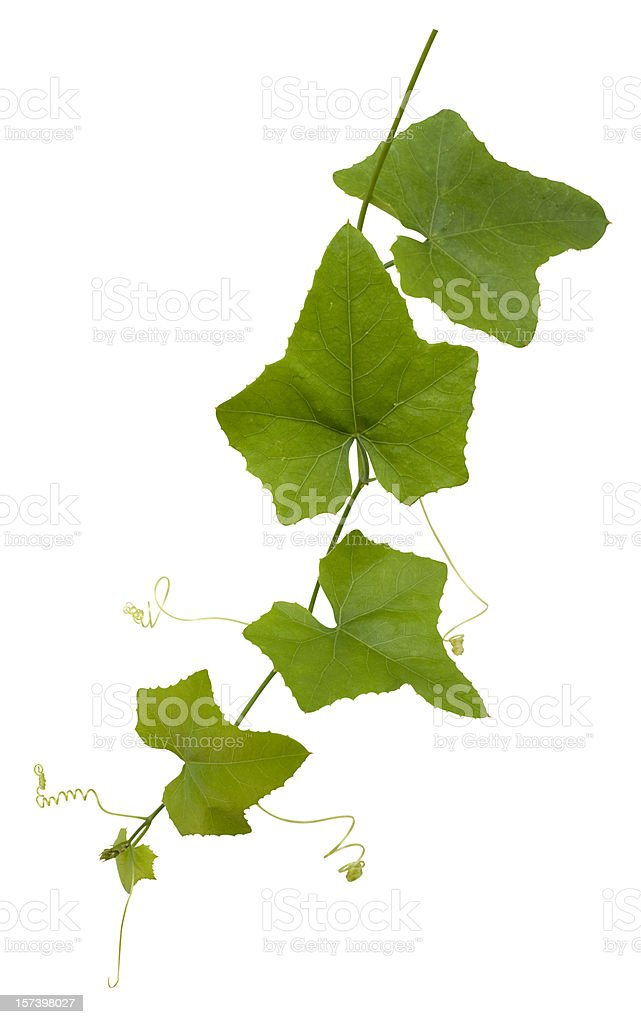Creeper plant with clipping path included. royalty-free stock photo