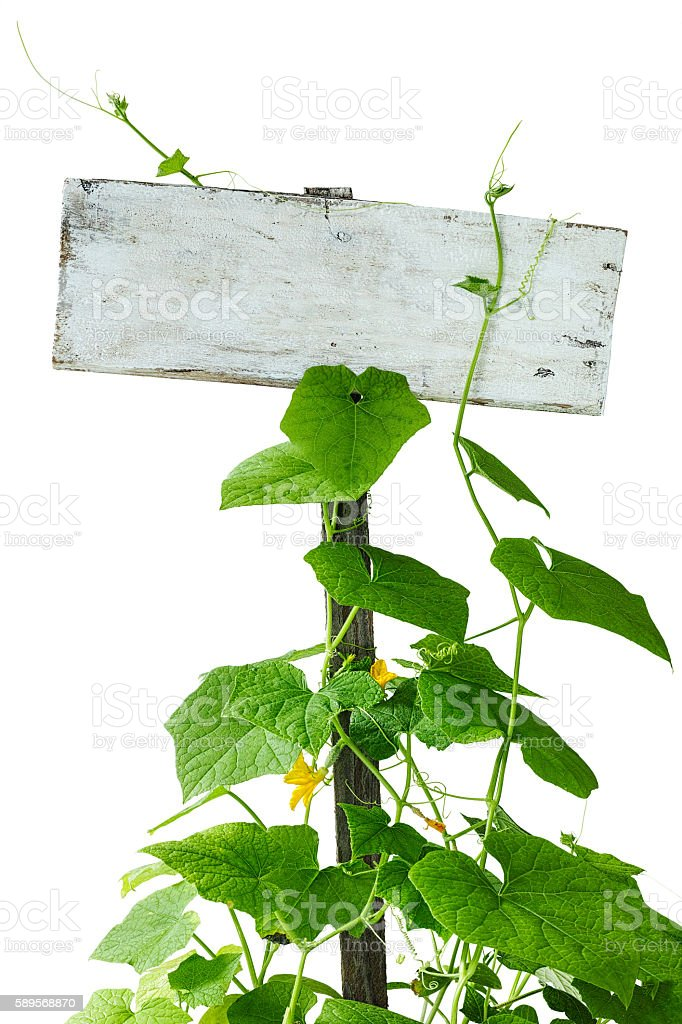 Creeper plants growing up and climbing an old garden sign. stock photo