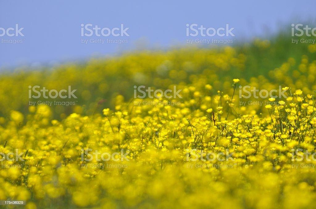 Creeping Buttercup stock photo