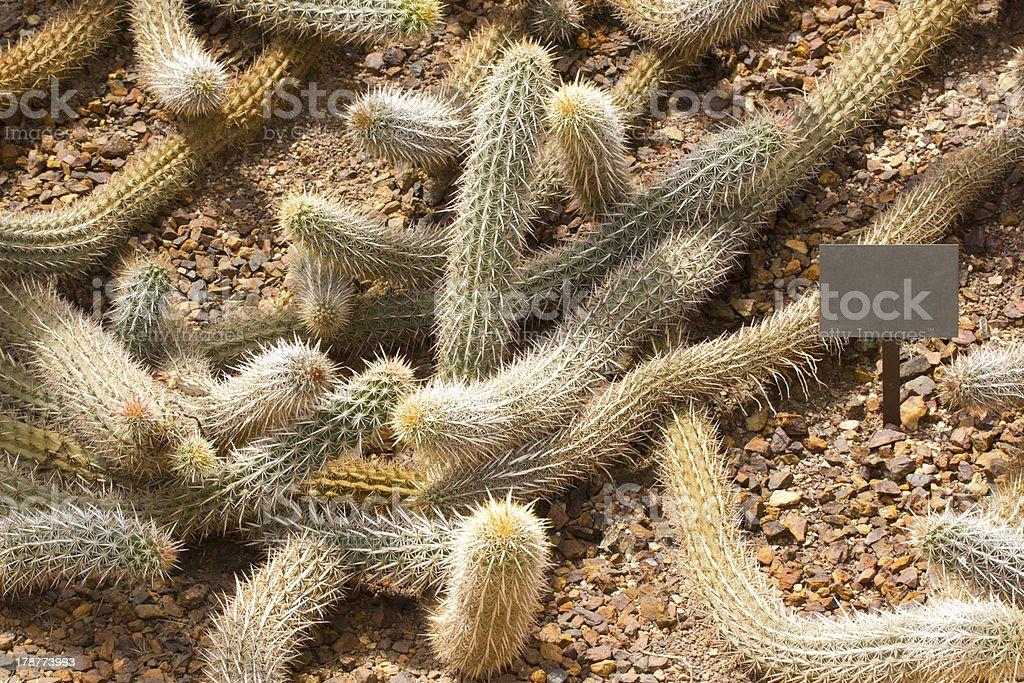 Creeping Devil Cactus royalty-free stock photo