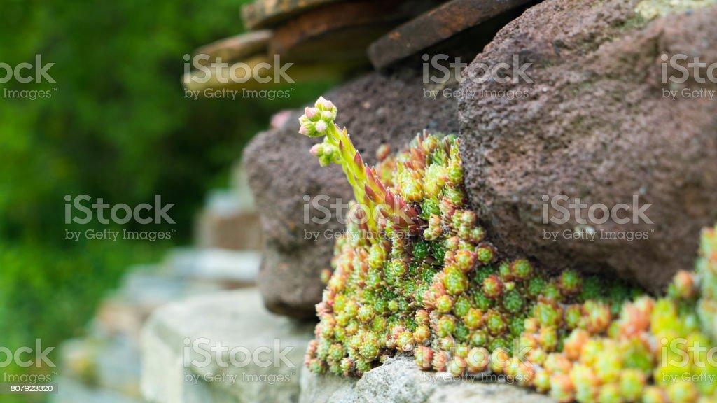 Creeping flowers grow on stones. stock photo