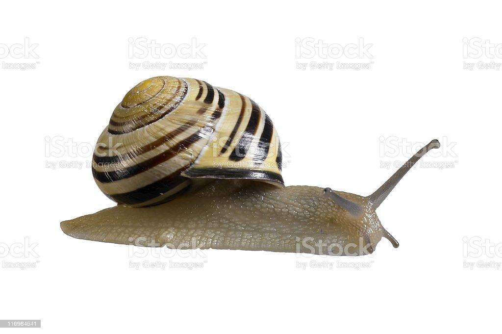 creeping grove snail royalty-free stock photo