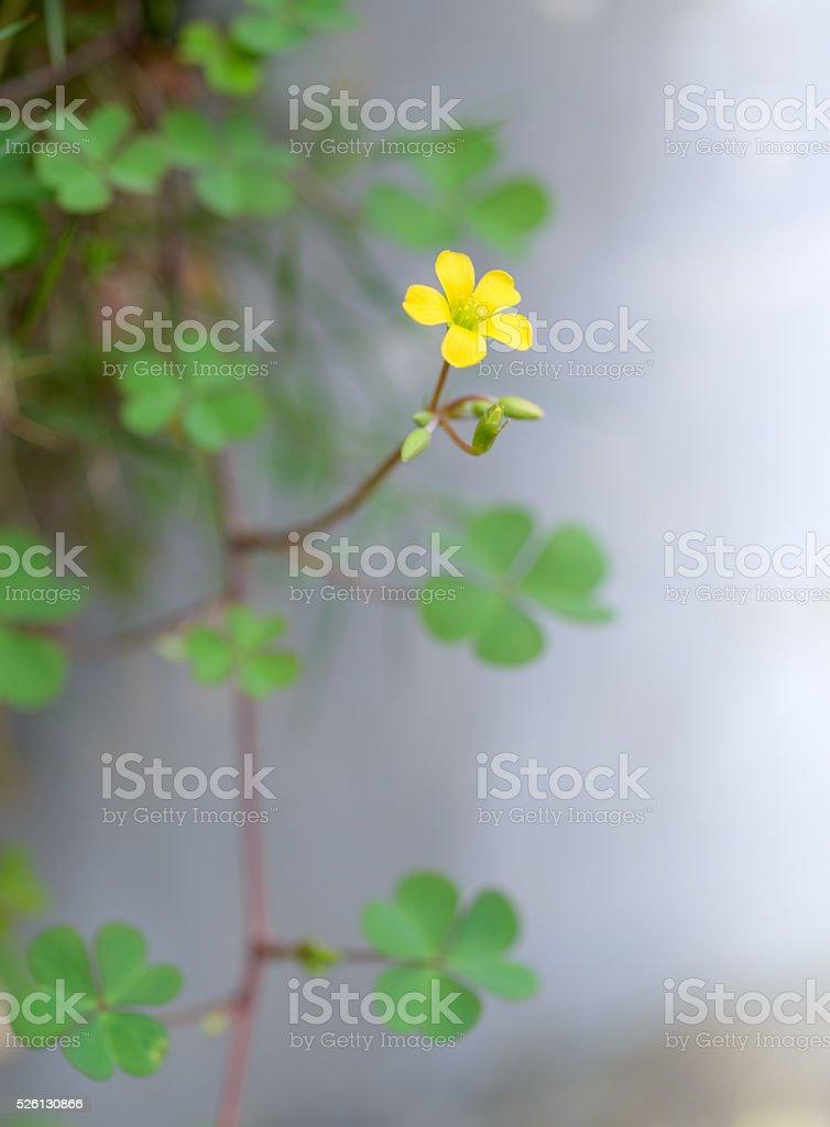 Creeping Oxalis  flower stock photo