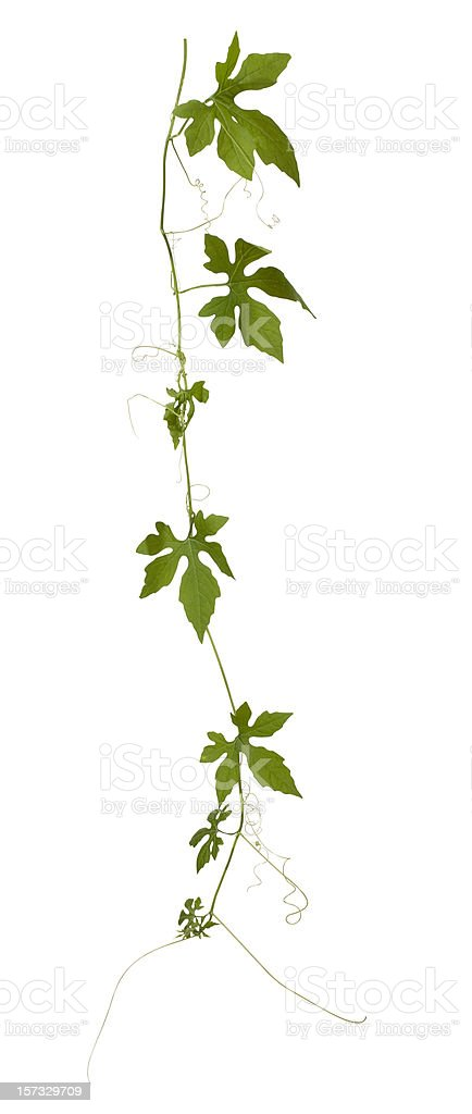 Creeping plant isolated on white, clipping path included. royalty-free stock photo