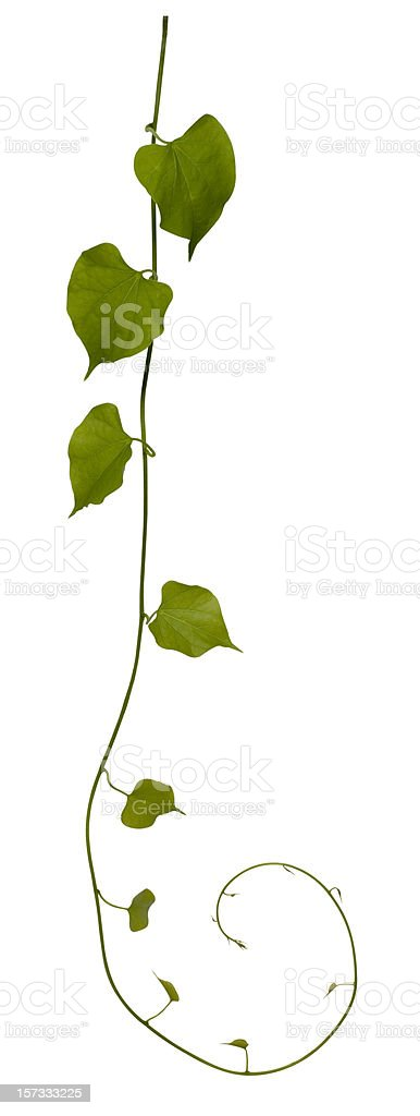 Creeping plant isolated on white, clipping path included. stock photo