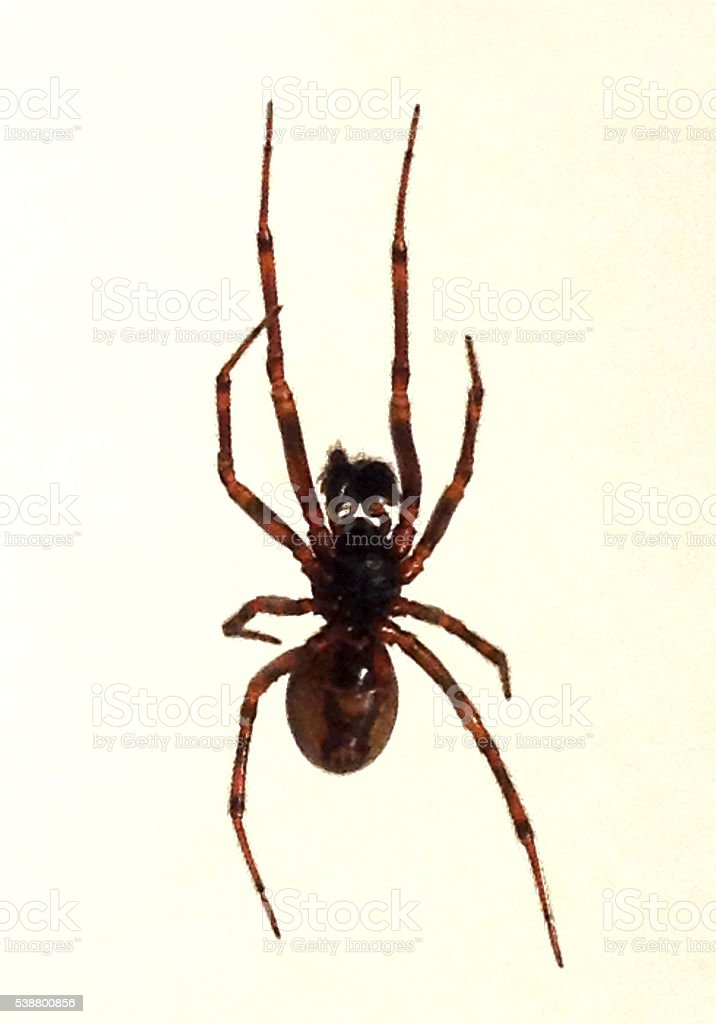 Creepy Brown Black Hairy House Spider Close Up Animal Danger stock photo