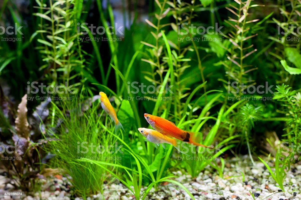 Cremecicle Lyretail Molly and Red Wag Swordtail stock photo