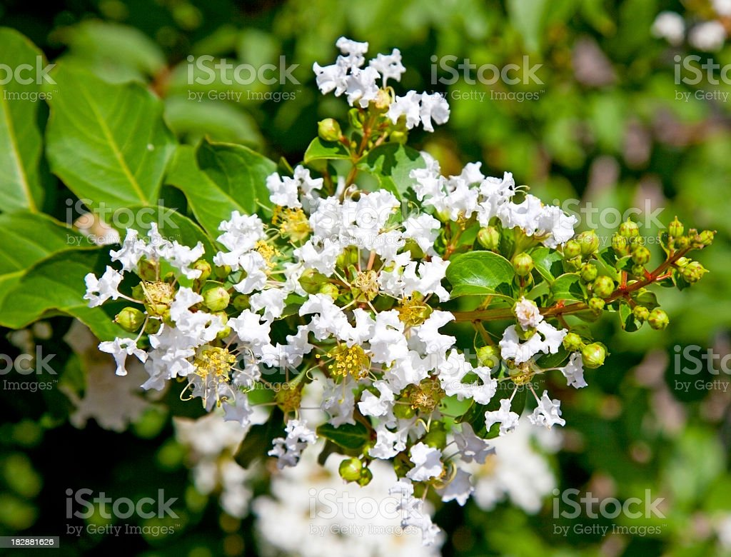 Crepe Myrtle Blossom stock photo