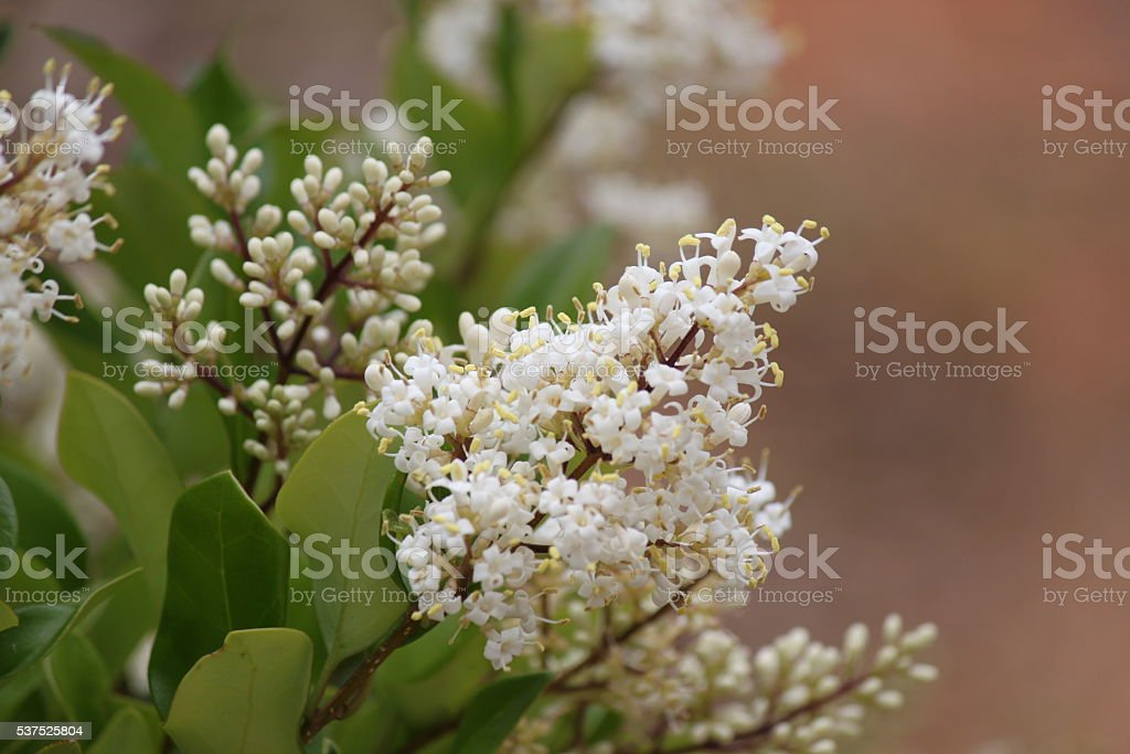 Crepe Myrtle Flower stock photo