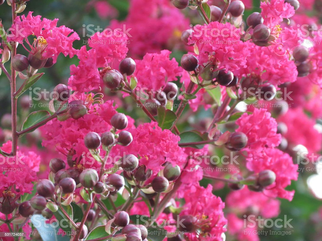 Crepe Myrtle in Bloom stock photo