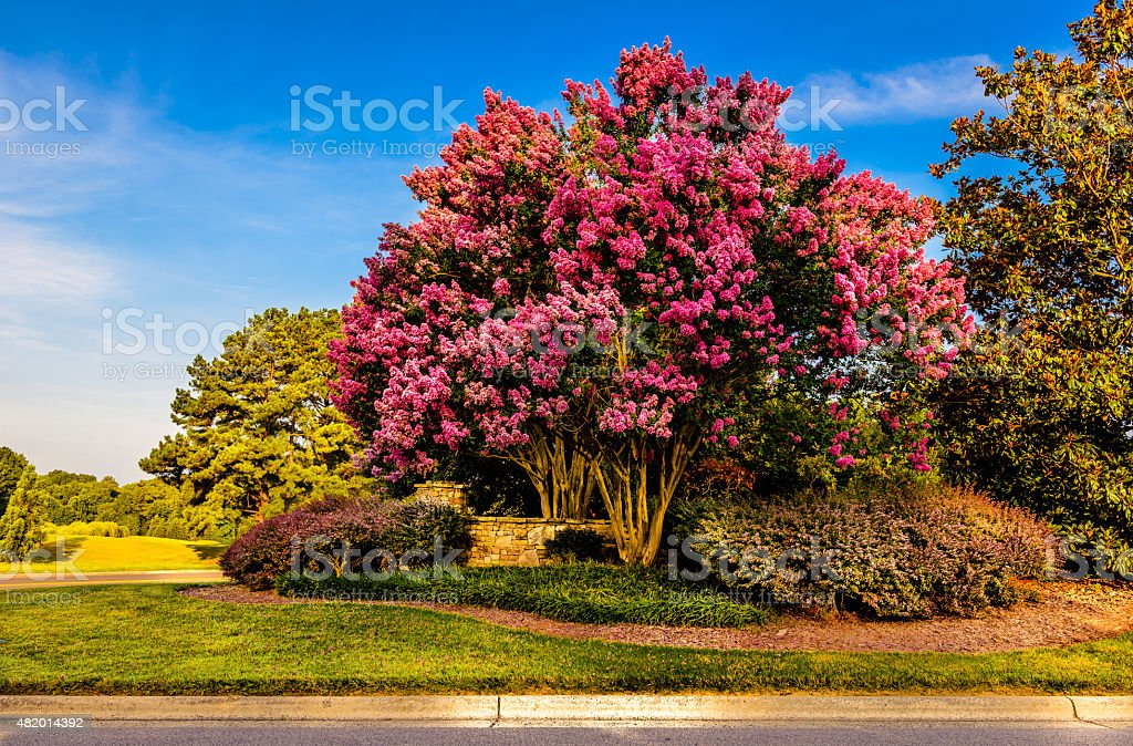 Crepe Myrtle stock photo