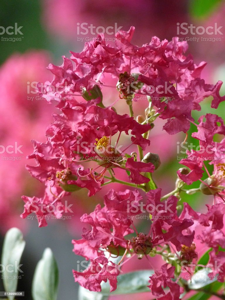 Crepe Myrtle Tree Blossoms on tree Summer Watermelon Raspberry Pink stock photo