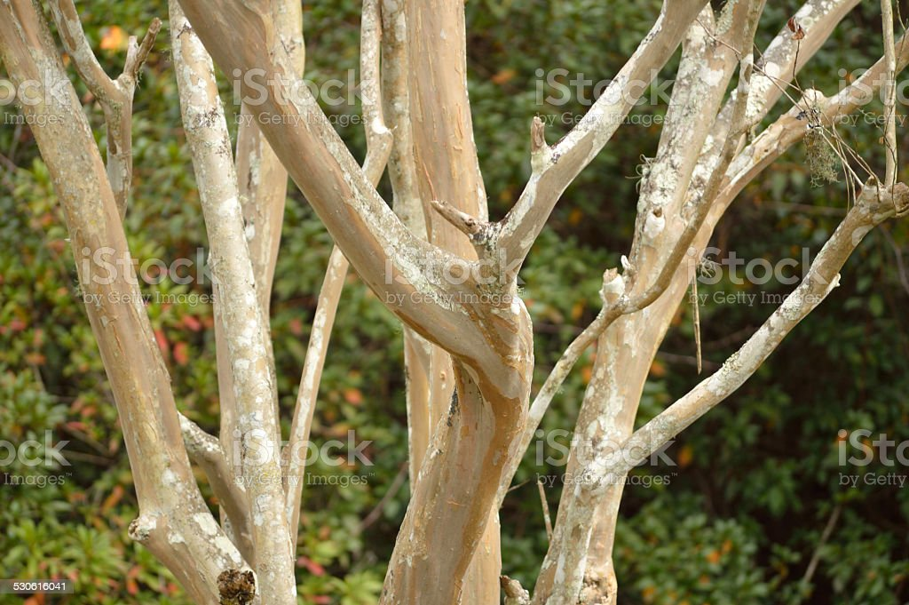 Crepe myrtle tree branches, closeup stock photo