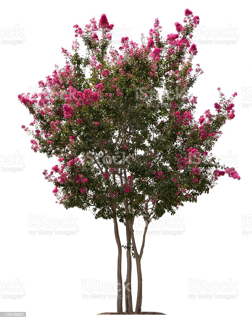 Crepe Myrtle Tree Isolated On White Background stock photo