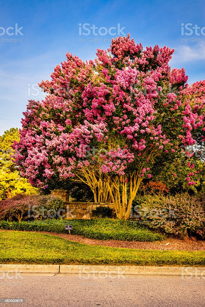 Crepe Myrtle Tree stock photo