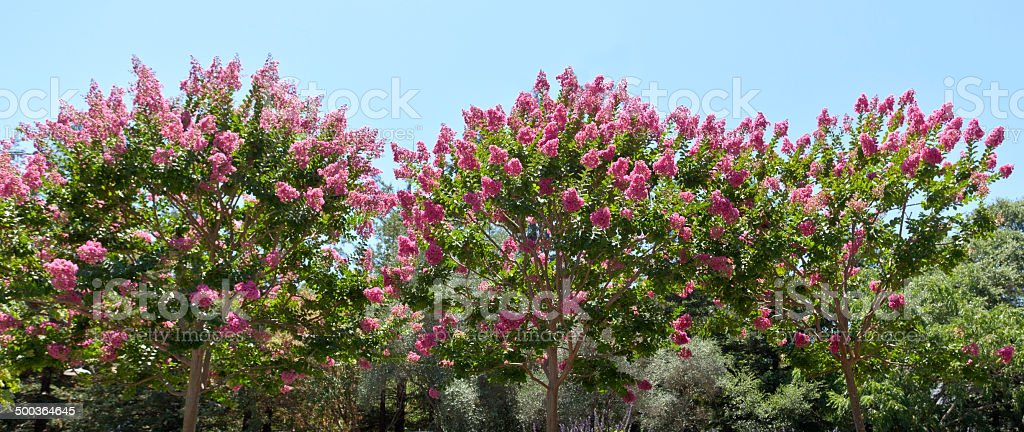 Crepe Myrtles stock photo
