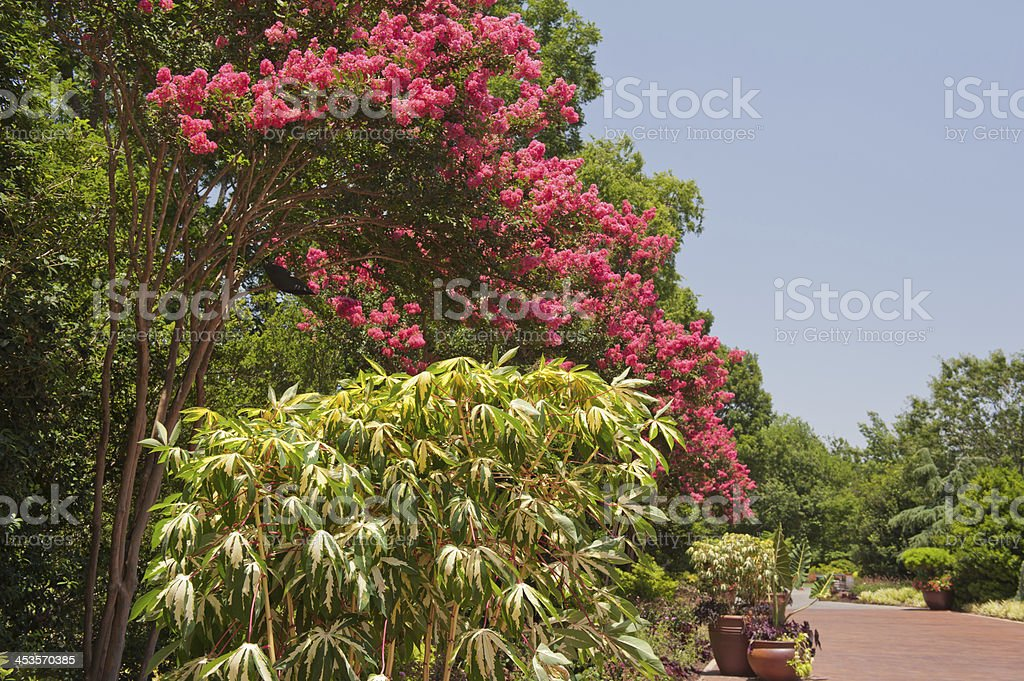 Crepe Myrtles With Blue Skies stock photo
