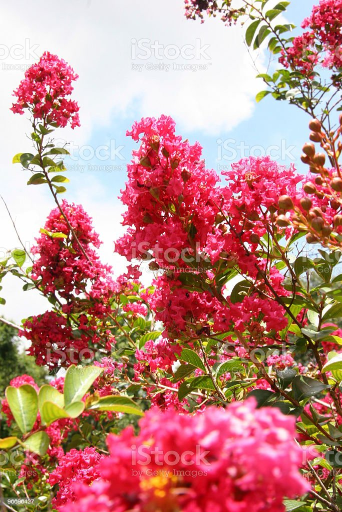 Crepe-Myrtle in Bloom stock photo