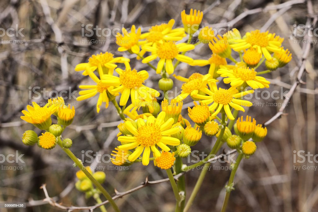 Cressleaf Groundsel Butterweed Packera glabella stock photo