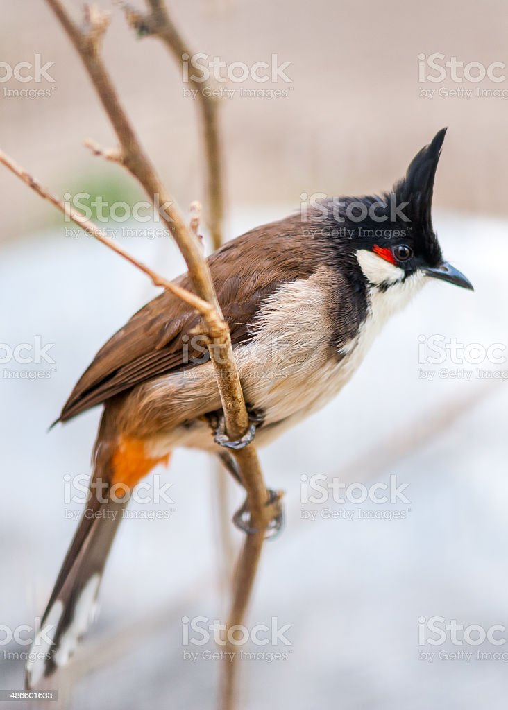 crested bunting royalty-free stock photo