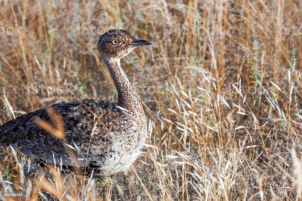 Crested Bustard - Eupodotis ruficrista (Korhaan) stock photo