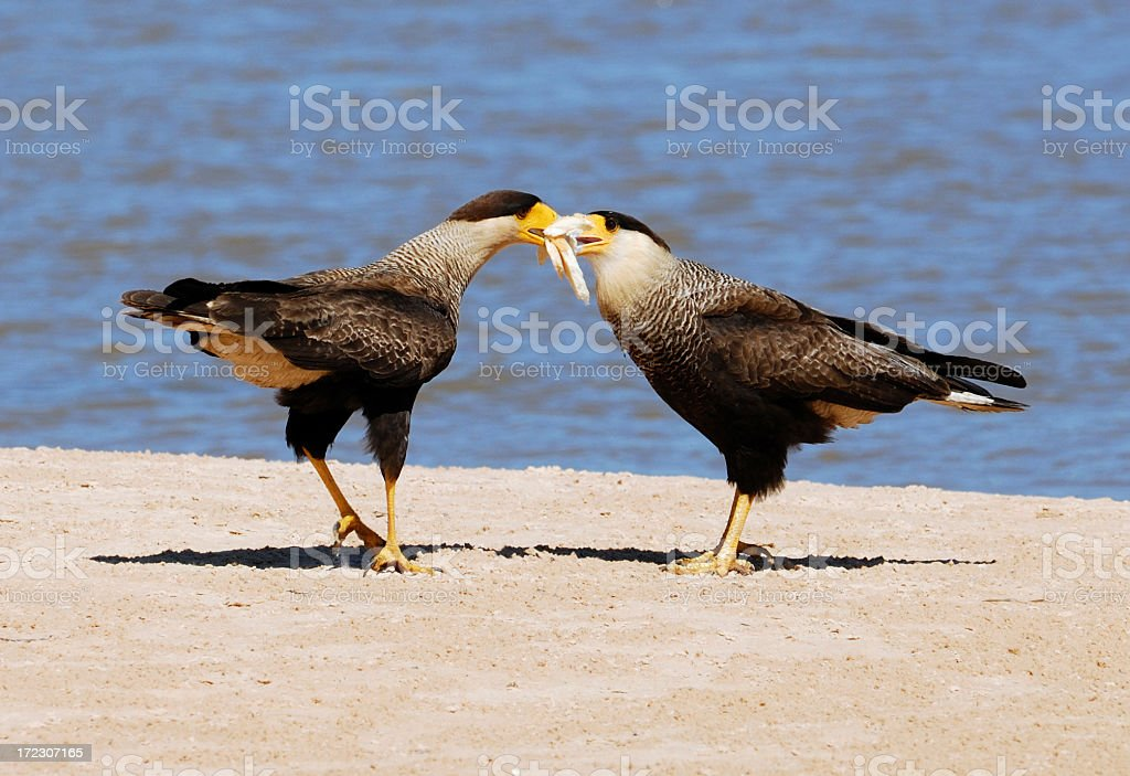 Crested Caracaras royalty-free stock photo